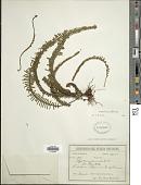 view Pecluma plumula (Humb. & Bonpl. ex Willd.) M.G. Price digital asset number 1
