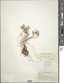 view Oxalis adenophylla digital asset number 1