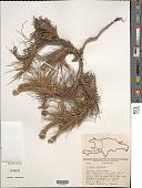view Tillandsia tenuifolia L. digital asset number 1