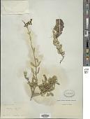 view Salvia aurea L. digital asset number 1