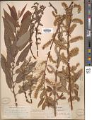 view Salix mackenziana (Hook.) Barratt ex Hook. digital asset number 1