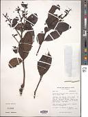 view Gaiadendron punctatum (Ruiz & Pav.) G. Don digital asset number 1
