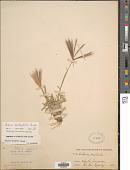 view Chloris halophila Parodi digital asset number 1