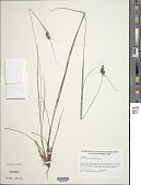 view Carex complanata Torr. & Hook. digital asset number 1
