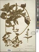 view Mikania ferruginea digital asset number 1