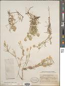 view Eragrostis reptans (Michx.) Nees digital asset number 1