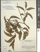view Smilax domingensis Willd. digital asset number 1