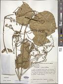 view Fridericia conjugata (Vell.) L.G. Lohmann digital asset number 1