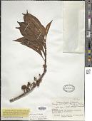 view Loreya arborescens (Aubl.) DC. digital asset number 1