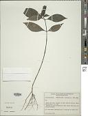 view Herpetacanthus melancholicus var. latifolius digital asset number 1