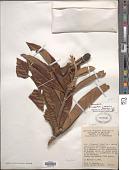 view Eriobotrya japonica (Thunb.) Lindl. digital asset number 1