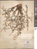 view Scrophularia deserti Delile digital asset number 1