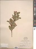 view Amelanchier florida Lindl. digital asset number 1