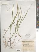view Melica uniflora Retz. digital asset number 1