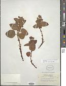 view Polygonum davisiae W.H. Brewer ex A. Gray digital asset number 1
