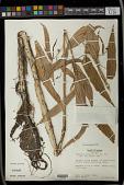 view Caperonia palustris (L.) A. St.-Hil. digital asset number 1