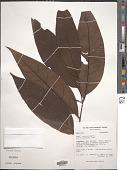 view Piper arboreum Aubl. var. arboreum digital asset number 1
