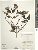 view Bartlettina constipatiflora (Klatt) R.M. King & H. Rob. digital asset number 1
