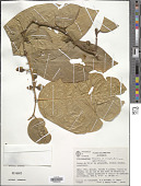 view Securidaca cristata A.C. Sm. digital asset number 1