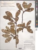 view Cercocarpus macrophyllus C.K. Schneid. digital asset number 1