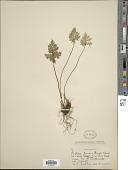 view Aspidotis densa (Brack.) Lellinger digital asset number 1