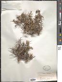 view Rhamnus prostrata Jacq. digital asset number 1