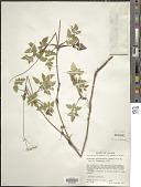 view Arracacia atropurpurea (Lehm.) Benth. & Hook. f. ex Hemsl. digital asset number 1
