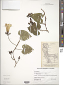 view Ipomoea pandurata (L.) G. Mey. digital asset number 1