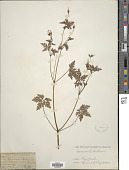 view Geranium robertianum L. digital asset number 1