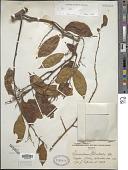 view Securidaca welwitschii Oliv. digital asset number 1