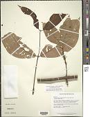 view Eugenia tetramera (McVaugh) M. L. Kawas. & B.K. Holst digital asset number 1