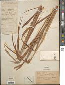 view Mnesithea mollicoma (Hance) A. Camus digital asset number 1