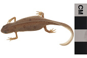 view Red-spotted Newt digital asset number 1