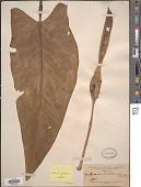 view Xanthosoma riedelianum (Schott) Schott digital asset number 1