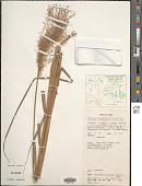 view Miscanthus floridulus (Labill.) Warb. digital asset number 1