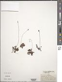 view Drosera capillaris Poir. digital asset number 1