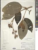 view Meriania grandiflora (Standl.) Almeda digital asset number 1