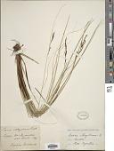 view Carex illegitima Ces. digital asset number 1