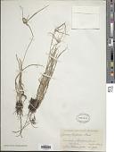 view Cyperus richardii Steud. digital asset number 1