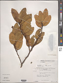 view Heisteria maytenoides Spruce ex Engl. digital asset number 1