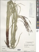 view Carex donnell-smithii L.H. Bailey digital asset number 1
