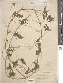 view Cardiospermum halicacabum var. microcarpum (Kunth) Blume digital asset number 1
