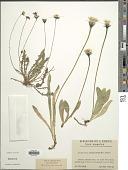 view Leontodon aurantiacus (Willd.) Rchb. digital asset number 1