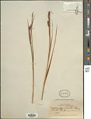 view Orthrosanthus nigrorhynchus Rusby digital asset number 1