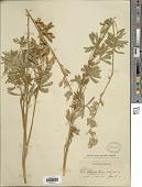 view Lupinus ornatus Lindl. digital asset number 1
