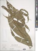 view Pronephrium penangiana (Hook.) Holttum digital asset number 1