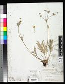 view Potentilla hippiana var. diffusa Lehm. digital asset number 1
