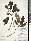 view Meriania dimorphanthera Wurdack digital asset number 1