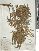 view Pteridium aquilinum var. arachnoideum (Kaulf.) Herter digital asset number 1
