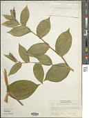 view Streptopus amplexifolius var. americanus Schult. & Schult. f. digital asset number 1